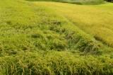 稲が倒れた水田