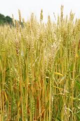 麦の穂(茶色)3