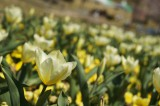 白いチューリップの花畑3