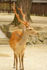 奈良の鹿・側面4