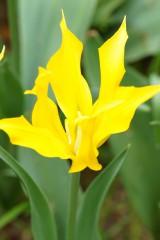 チューリップ 花 黄色2