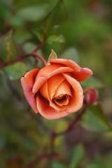 バラの花 赤・オレンジ2