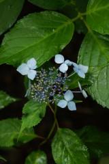 アジサイの花・青・薄紫6