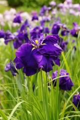 ショウブ 花・紫1