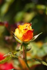 バラの花(万博公園)・赤と黄色1