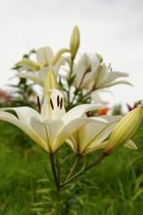 ユリ 花とつぼみ・白2
