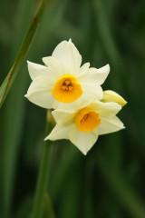 水仙 花 2つ 2