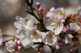 明日香村・石舞台 桜11