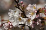 明日香村・石舞台の桜11