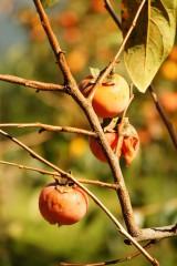 熟し過ぎた柿2