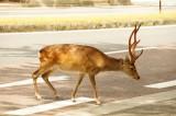奈良の鹿・側面9