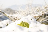 雪に埋もれた白菜