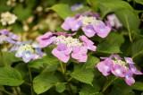 アジサイの花・紫8