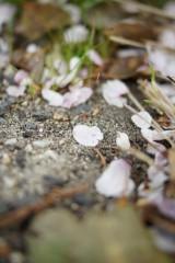 桜の花びら2