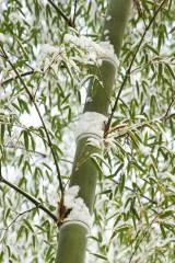 積雪した竹