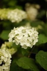 アジサイ 花・黄緑8