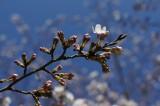 明日香村・石舞台の桜21
