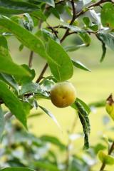 柿の実 緑1