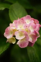 アジサイの花・ピンク5