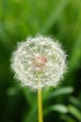 タンポポ 種(種子はっきり)