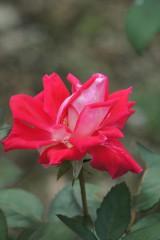 バラ 花 赤・ピンク1