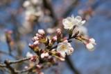 明日香村・石舞台の桜30