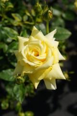バラ 花(万博公園)・黄色4