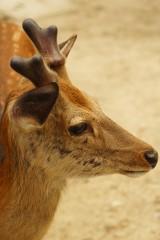奈良の鹿・側面8