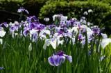 ショウブ 花・紫と白7