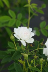 バラ 花・白4
