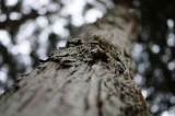 木肌・枝打ち跡