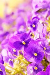 パンジー・明るめ(紫)