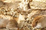 奈良の鹿・正面・複数