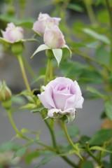 バラの花・薄紫5