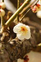 梅の花20
