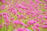 シレネ・コマチソウの花畑