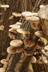木からたくさん生えた椎茸