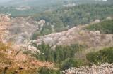 吉野・上千本付近の桜(4/15)