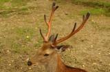 奈良の鹿・側面13