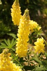 ルピナスの花・黄色1