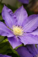 テッセンの花 アップ
