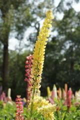 ルピナスの花・黄色2