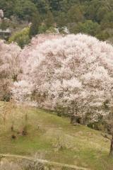 吉野・中千本付近の桜
