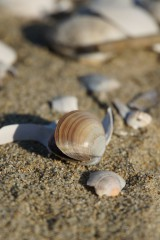 海岸に打ち上げられた貝殻5