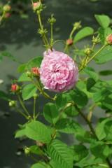 バラの花・ピンク5