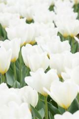 チューリップ(白)の花畑1