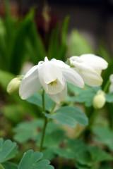 オダマキの花 白1