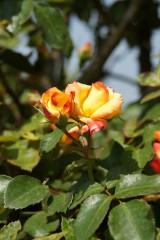 バラ 花(万博公園)・赤と黄色9