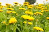 ポットマリーゴールドの花畑・黄色1