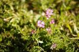 れんげ 花1